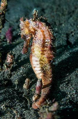 Hippocampus Photograph - Yellow Seahorse by Georgette Douwma