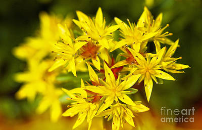 Photograph - Yellow Sedum by Lee Craig