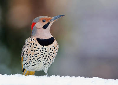 Yellow Shafted Flicker In Snow Art Print