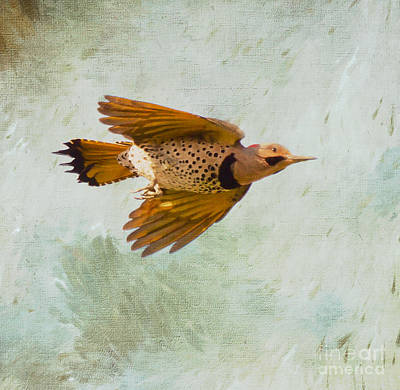 Photograph - Yellow-shafted Northern Flicker In Flight by Kerri Farley