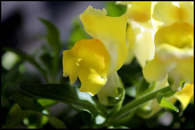 Yellow Snapdragons I Art Print by Aya Murrells
