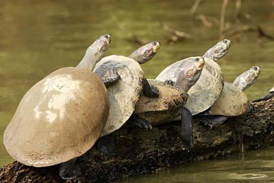 Yellow-spotted Amazon River Turtles Art Print by M. Watson
