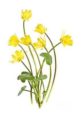 Lesser Photograph - Yellow Spring Wild Flowers Marsh Marigolds by Elena Elisseeva
