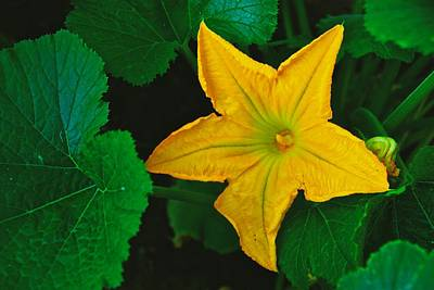 Photograph - Yellow Squash Bloom by Eric Tressler
