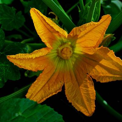 Photograph - Yellow Squash Flower by Eric Tressler
