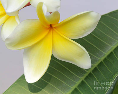 Florida Flowers Photograph - Yellow Star Plumeria by Sabrina L Ryan