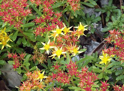 Photograph - Yellow Stars In The Garden by Duane McCullough