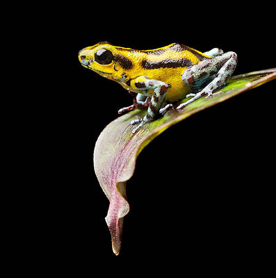 Panama Frog Photograph - Yellow Strawberry Poison Dart Frog by Dirk Ercken