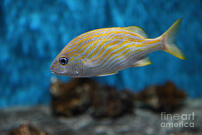 Photograph - Yellow Striped Fish 5d25082 by Wingsdomain Art and Photography