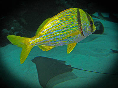 Photograph - Yellow Striped Fish by Connie Fox