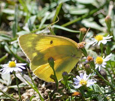 Yellow Sulfur Butterfly Original
