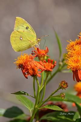 Art Print featuring the photograph Yellow Sulphur Butterfly by Debra Martz