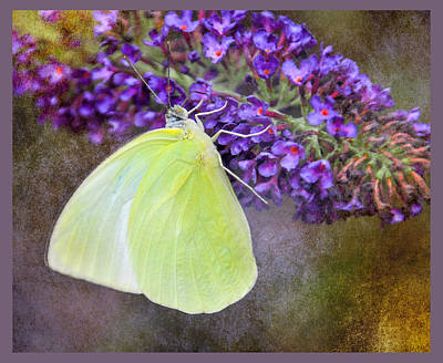 Photograph - Yellow Sulphur by Diane Wood