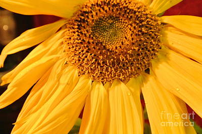 Photograph - Yellow Sunflower by Sharron Cuthbertson