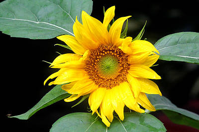 Photograph - Yellow Sunflower by Trina  Ansel