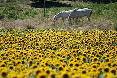 Photograph - Yellow Sunflowers White Horses by Phoenix De Vries