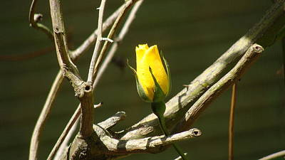 Photograph - Yellow Rose Survivor by Ray Lewis