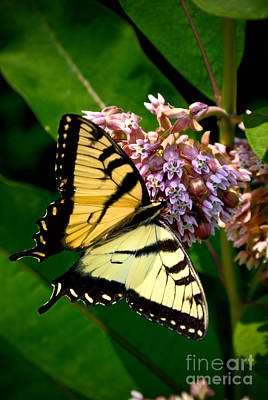 Striped Photograph - Yellow Swallowtail Butterfly by Amy Cicconi