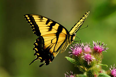 Photograph - Yellow Swallowtail Butterfly by Candace Zynda