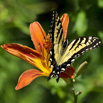 Swallow Photograph - Yellow Swallowtail Butterfly by Christina Rollo