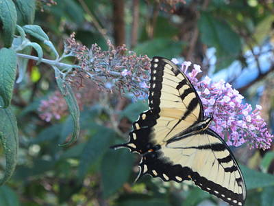 Photograph - Yellow Swallowtail Butterfly by Debbie Nester