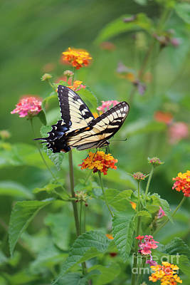 Photograph - Yellow Swallowtail In A Field Of Flowers by Jackie Farnsworth