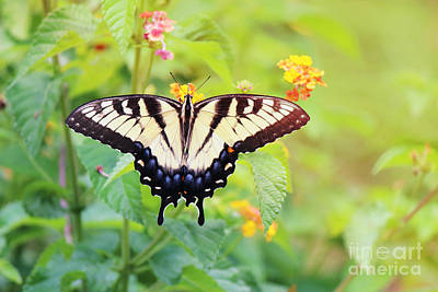 Photograph - Yellow Swallowtail In The Morning Sunrise by Jackie Farnsworth