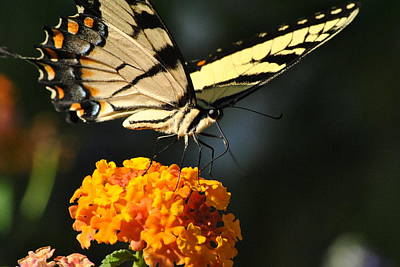 Art Print featuring the photograph Yellow Swallowtail by Kelly Nowak