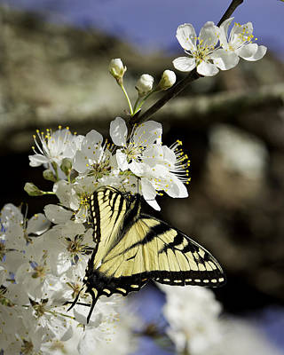 Photograph - Yellow Swallowtail On Wild Plum by Michael Dougherty