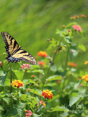 Photograph - Yellow Swallowtail Ready For Flight by Jackie Farnsworth