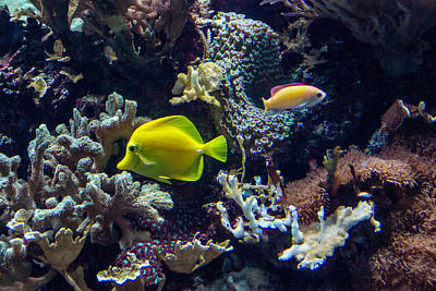 Photograph - Yellow Tang by Douglas Barnett