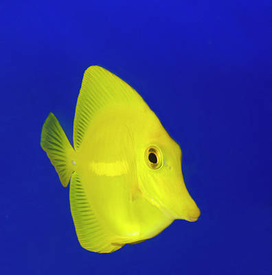 Tang Photograph - Yellow Tang by Nigel Downer