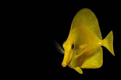 Metal Fish Art Photograph - Yellow Tang On Black by Izzy Standbridge