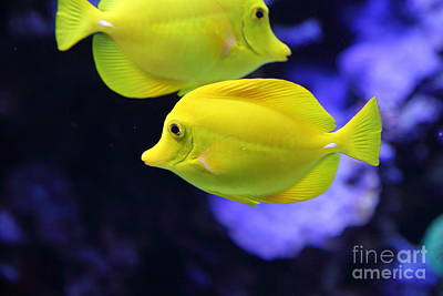 Photograph - Yellow Tang Tropical Fish 5d24880 by Wingsdomain Art and Photography