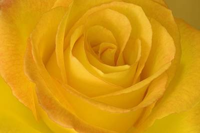 Yellow Tea Rose Print by John Pitcher