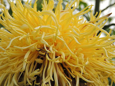 Lamberton Conservatory Photograph - Yellow Tendrils by Sharon Hann
