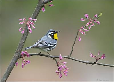 Photograph - Yellow Throated Warbler by Daniel Behm