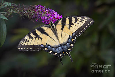 Photograph - Yellow Tiger by Cris Hayes