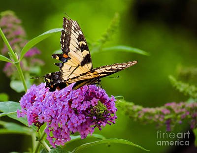 Photograph - Yellow Tiger Swallow Tail Butterfly by Betsy Foster Breen