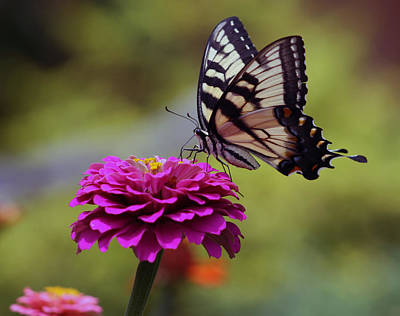 Art Print featuring the photograph Yellow Tiger Swallowtail Butterfly by Kay Novy