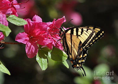 Art Print featuring the photograph Yellow Tiger Swallowtail Butterfly by Nava Thompson