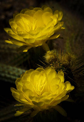 Yellow Cactus Flower Photograph - Yellow Torch Cactus  by Saija  Lehtonen