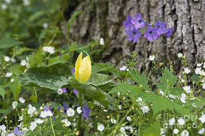Photograph - Yellow Trillium - D008723 by Daniel Dempster