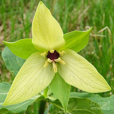 Trillium S Photograph - Yellow Trillium by Victoria  Dauphinee