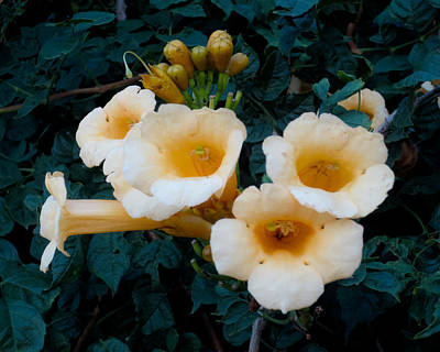 Photograph - Yellow Trumpet Blooms 02 by Tony Grider