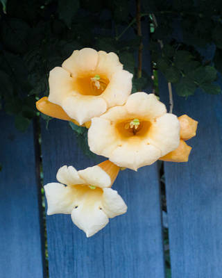 Photograph - Yellow Trumpet Blooms 03 by Tony Grider