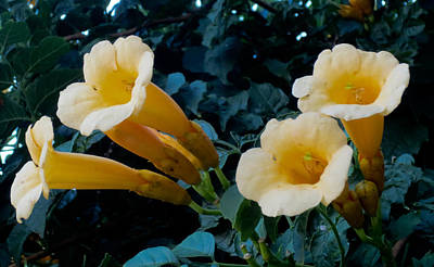 Photograph - Yellow Trumpet Creeper Wide by Tony Grider