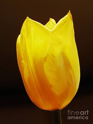 Yellow Tulip 3 Print by Sarah Loft