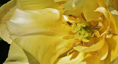 Photograph - Yellow Tulip Abstract by Bruce Bley