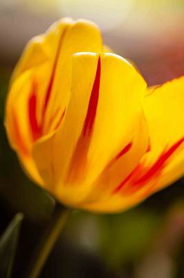 Photograph - Yellow Tulip by Alfio Finocchiaro